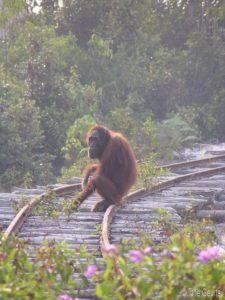 A bornean orangutan sits on a railroad track in a human-altered landscape.