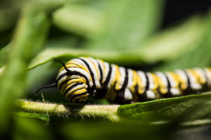 Monarch caterpillar on a milkweed plant in a University of Michigan laboratory. Image credit: Austin Thomason, Michigan Photography