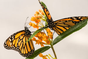 Two monarch butterflies on a milkweed plant in a University of Michigan laboratory. Photo by Austin Thomason/Michigan Photography.