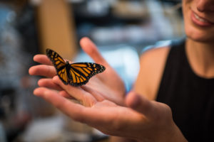 Researcher Leslie Decker with a monarch butterfly in a University of Michigan laboratory. Image credit: Austin Thomason, Michigan Photography