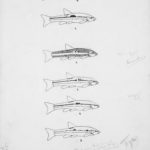 Detail from 1914 line drawing showing how individual male fish can be identified by their lateral stripes. [Fish and fish habits (drawings), Box 47, Folder 6].