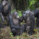 Chimpanzees can also be very cooperative in the wild — forming alliances with friends or hunting together in groups. Image credit: Jane Goodall Institute / By Fernando Turmo