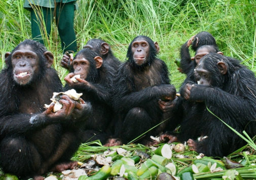 The chimpanzees gather for a meal.