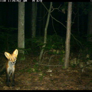 Camera-trap photo of a red fox at the U-M Biological Station.