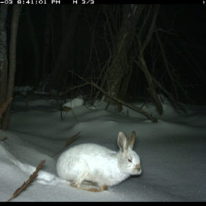 Camera-trap photo of a snowshoe hare at the U-M Biological Station.