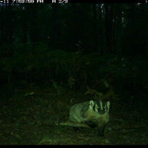 Camera-trap photo of a badger at the U-M Biological Station.