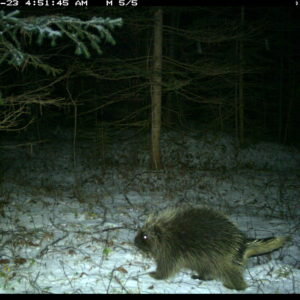 Camera-trap photo of a porcupine at the U-M Biological Station.