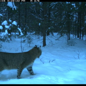 Camera-trap photo of a bobcat at the U-M Biological Station.