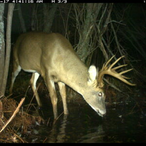 Camera-trap photo of a white-tailed deer at the U-M Biological Station.