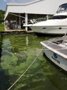 Cyanobacteria bloom visible at Toledo Beach Marina in August 2017. Image credit: Christine Kitchens.