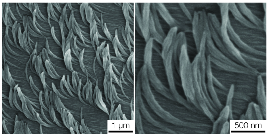An electron microscope image of banana-shaped nanofibers templated with a liquid crystal. Image credit: Kenneth Cheng, Lahann Lab, Michigan Engineering
