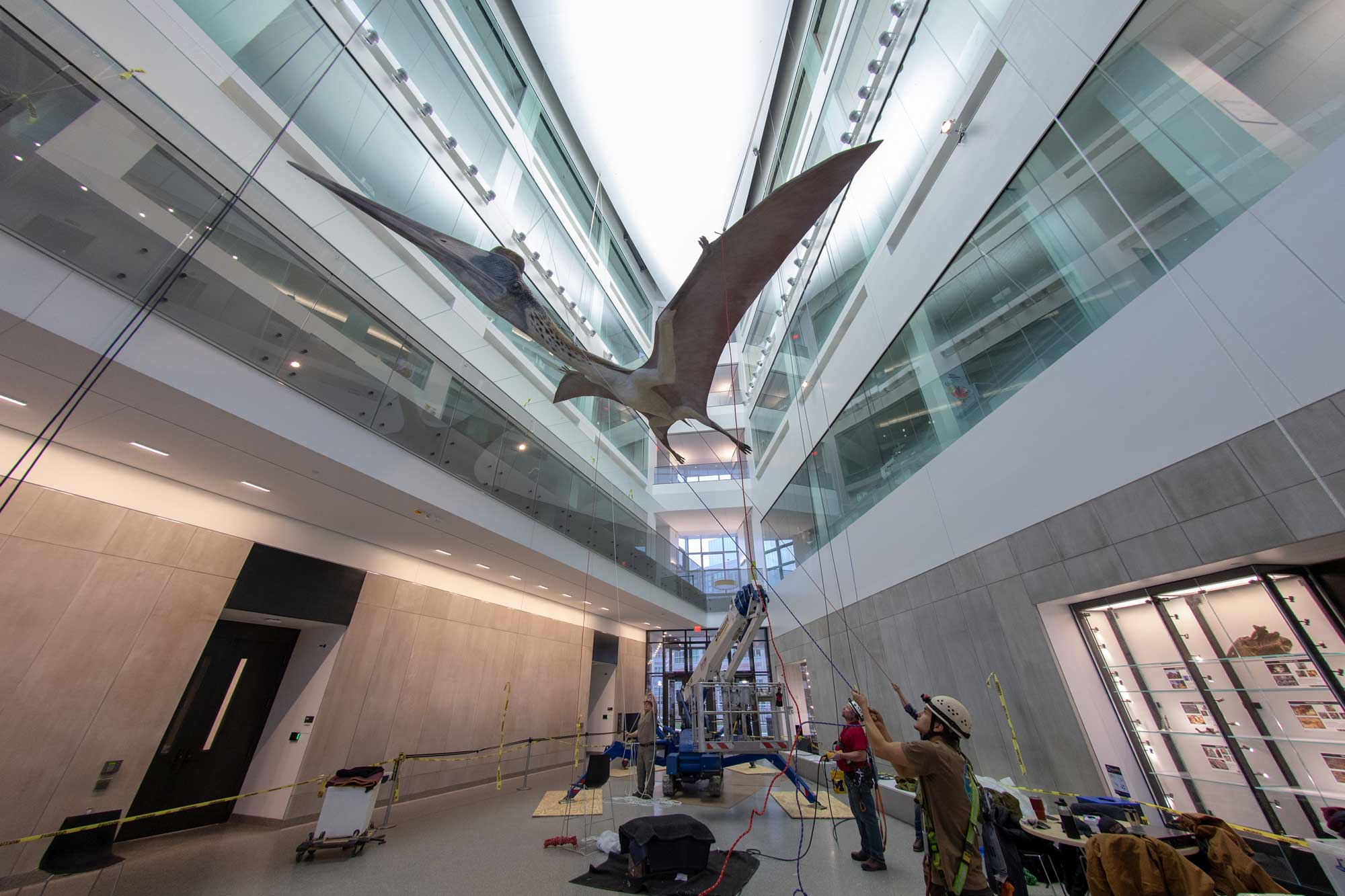 A life-size model of a prehistoric pterosaur is hoisted into place in a five-story atrium at the university's new Biological Sciences Building, the new home of the university's Museum of Natural History, which will reopen next spring. The creature, Quetzalcoatlus northropi, lived about 67 million years ago and was the largest known flying animal, with a 35-foot wingspan. The 700-pound model is a hand-painted fiberglass cast with an internal steel armature. Images credit: Roger Hart, Michigan Photography