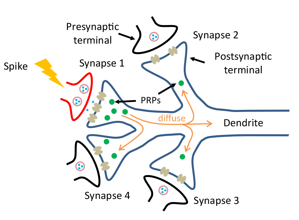 A diagram of a synapse receiving a signal from one of the connecting neurons. This signal activates the generation of plasticity-related proteins (PRPs), which help a synapse to grow. They can migrate to other synapses, which enables multiple synapses to grow at once. The new device is the first to mimic this process directly, without the need for software or complicated circuits. Image credit: Xiaojian Zhu, Nanoelectronics Group, University of Michigan.