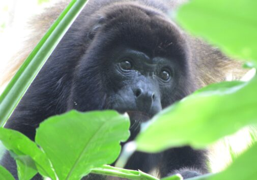 This male in southeastern Mexico's Tabasco state resembles a mantled howler monkey but may be a hybrid of two species, the mantled howler monkey and the black howler monkey. The two species coexist and interbreed in Tabasco in what's known as a hybrid zone. Image credit: Milagros González