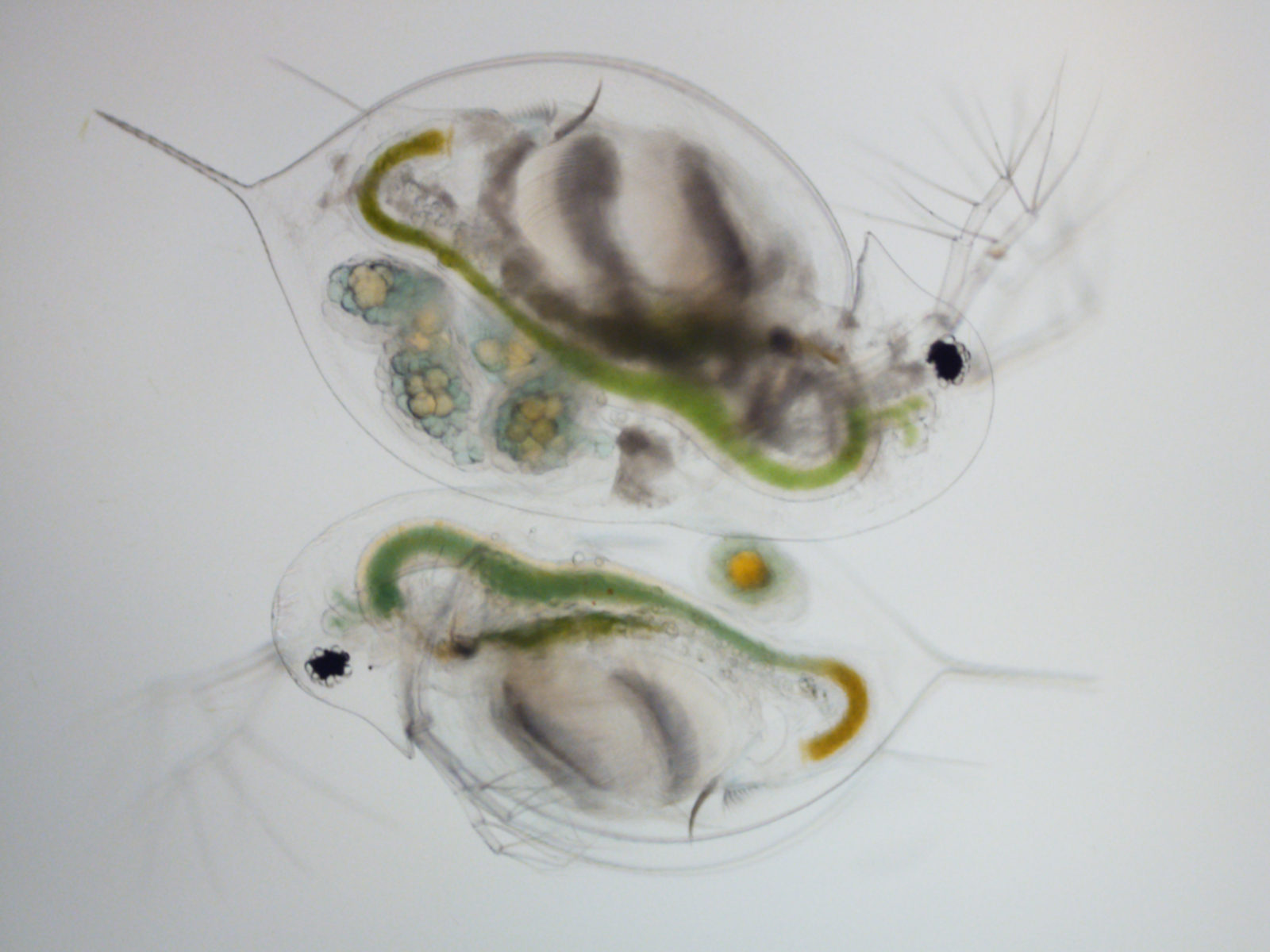 Microscope image of two Daphnia dentifera that fed on different diets and were exposed to a fungal pathogen. The top Daphnia fed on a nutritious green algae. She is larger and has several embryos in her brood chamber but is infected with a virulent fungal pathogen. The animal on the bottom fed on a toxic cyanobacterium. As a result, she is smaller and only has one developing embryo but is not infected with the pathogen (and, therefore, will live longer). Image credit: Meghan Duffy.