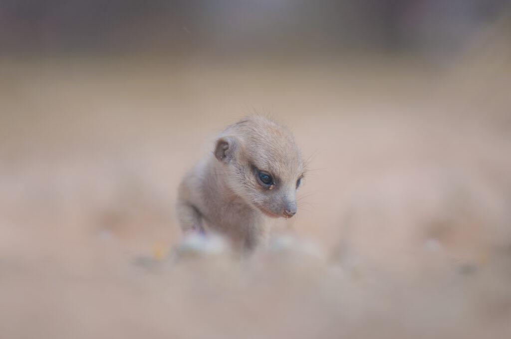 Image of a baby meerkat.
