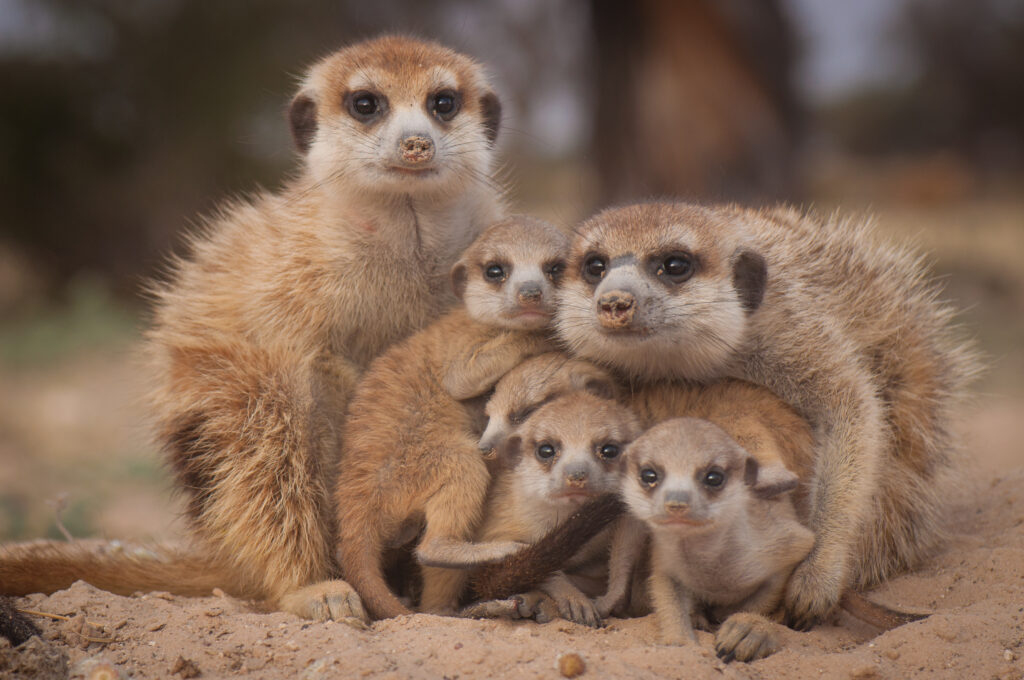 Image of a family of meerkats.