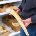 A walrus tusk collected by William Burt, curator of mammals at the U-M Museum of Zoology, during one of his field expeditions to the Pacific Northwest. Image credit: Scott Soderberg/Michigan Photography.
