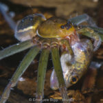 A fishing spider (genus Thaumasia) preying on a tadpole in a pond. Photo by Emanuele Biggi, in Amphibian & Reptile Conservation (amphibian-reptile-conservation.org).