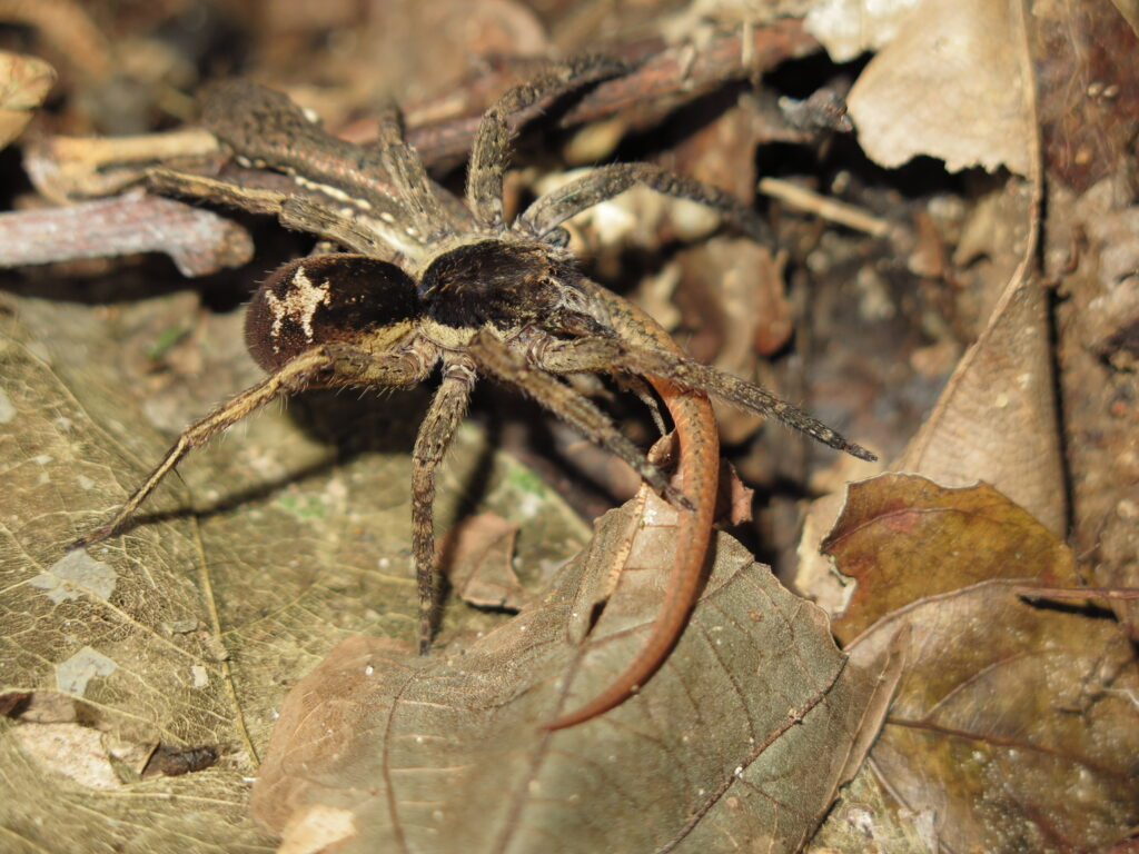 A wandering spider (Ctenidae) preying on a subadult Cercosaura eigenmanni lizard. Photo by Mark Cowan, in Amphibian & Reptile Conservation (amphibian-reptile-conservation.org).