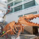 The prehistoric whale Basilosaurus prepares to be lifted to its second-floor home above the museum's main entrance. Image credit: Michelle Andonian