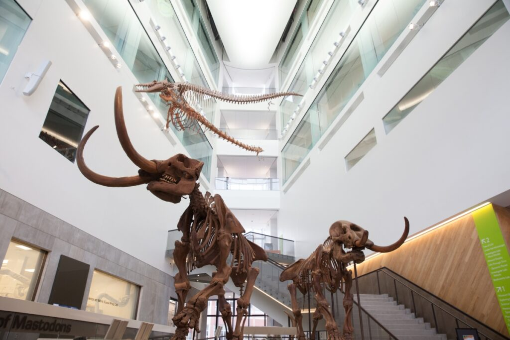 U-M Museum of Natural History is the only place in the world where visitors can find a mastodon couple exhibited together. Image credit: Michelle Andonian