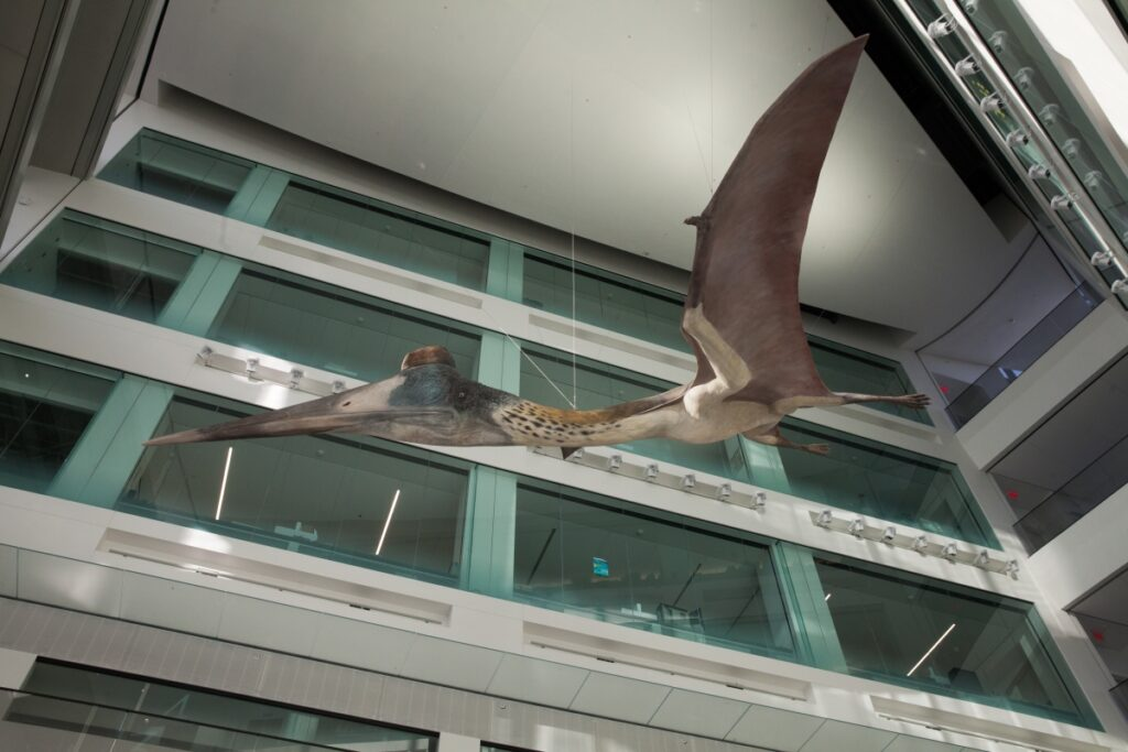 A life-size model of the prehistoric pterosaur Quetzalcoatlus soars in the five-story atrium of the Biological Sciences Building. Image credit: Michelle Andonian