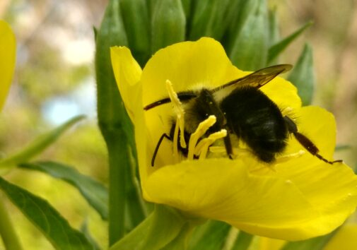 A bumblebee on an evening primrose. Image credit: Paul Glaum