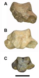 Talus (ankle bones)<br /> A) Gona (Ardipithecus ramidus) (specimen #: GWM67/P2b), 4.5 Million years old<br /> B) Middle Awash (Ardipithecus ramidus) (specimen #: ARA-VP-6/500-023), 4.4 Ma<br /> C) Hadar 'Lucy' (Australopithecus afarensis) (specimen #: A.L. 288-1as), 3.2 Ma. Image credit: Scott Simpson, CWRU School of Medicine.