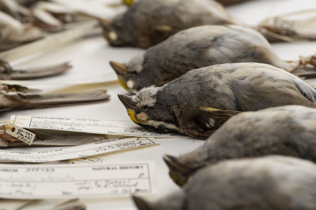 White-throated sparrows that were part of a large University of Michigan-led study of nighttime building collisions in the Midwest. These birds died after colliding with buildings in Chicago and were collected by researchers at the Field Museum. Image credit: Roger Hart/University of Michigan Photography