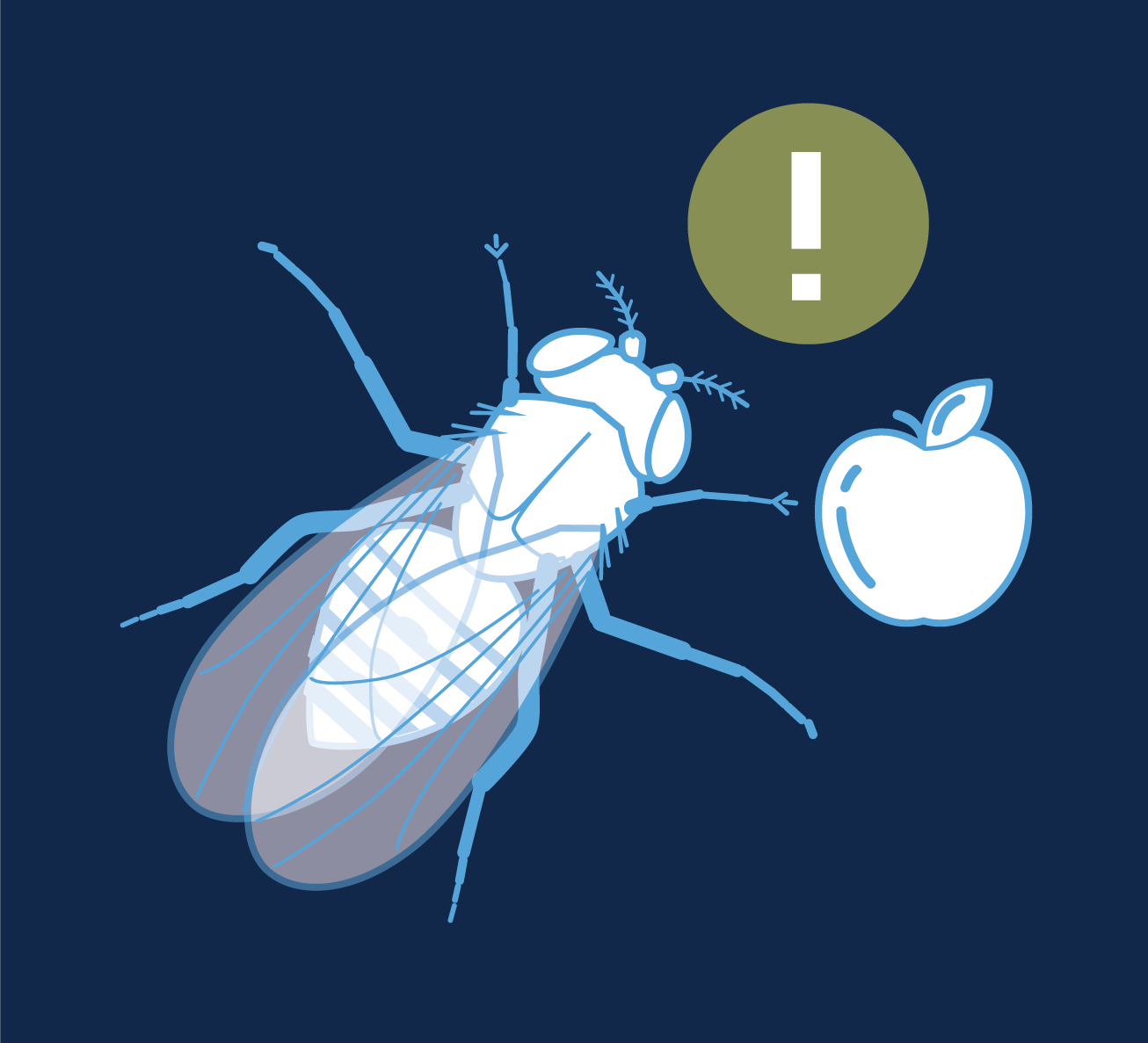 Illustration of a fruit fly