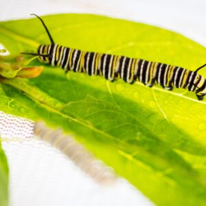 A monarch caterpillar on a milkweed leaf. Image credit: Daryl Marshke, Michigan Photography