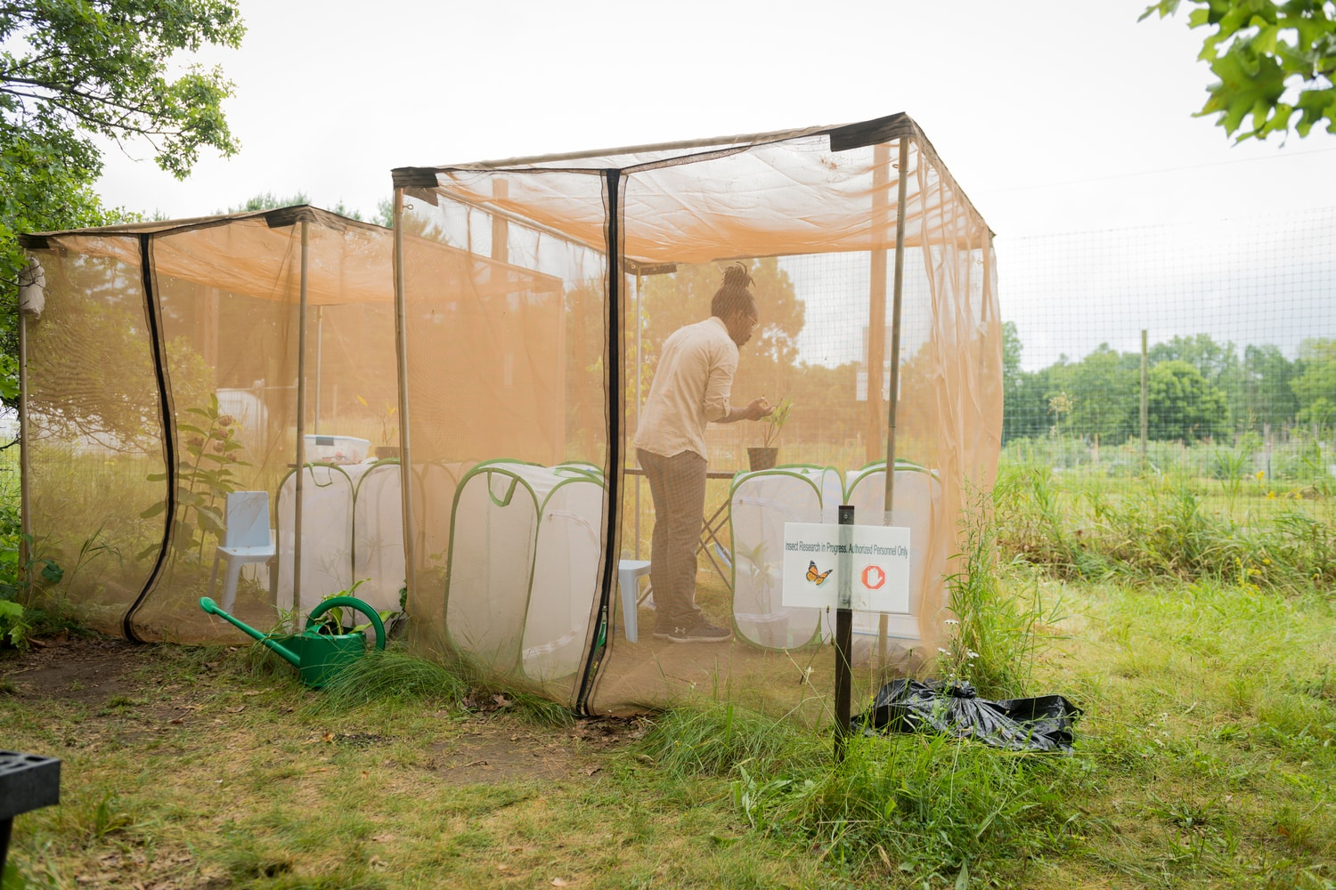 U-M biologist D. André Green works inside an outdoor insectary at the university's Matthaei Botanical Gardens in Ann Arbor. Image credit: Daryl Marshke, Michigan Photography