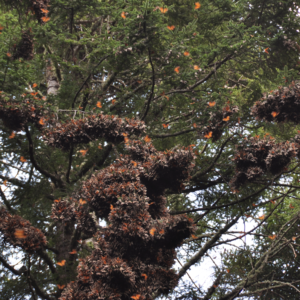 Monarch butterflies at an overwintering site in central Mexico. Image credit: D. André Green