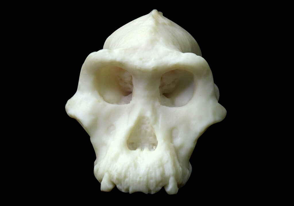 3-D printed model of the cranium. Photograph by Dale Omori, courtesy of the Cleveland Museum of Natural History