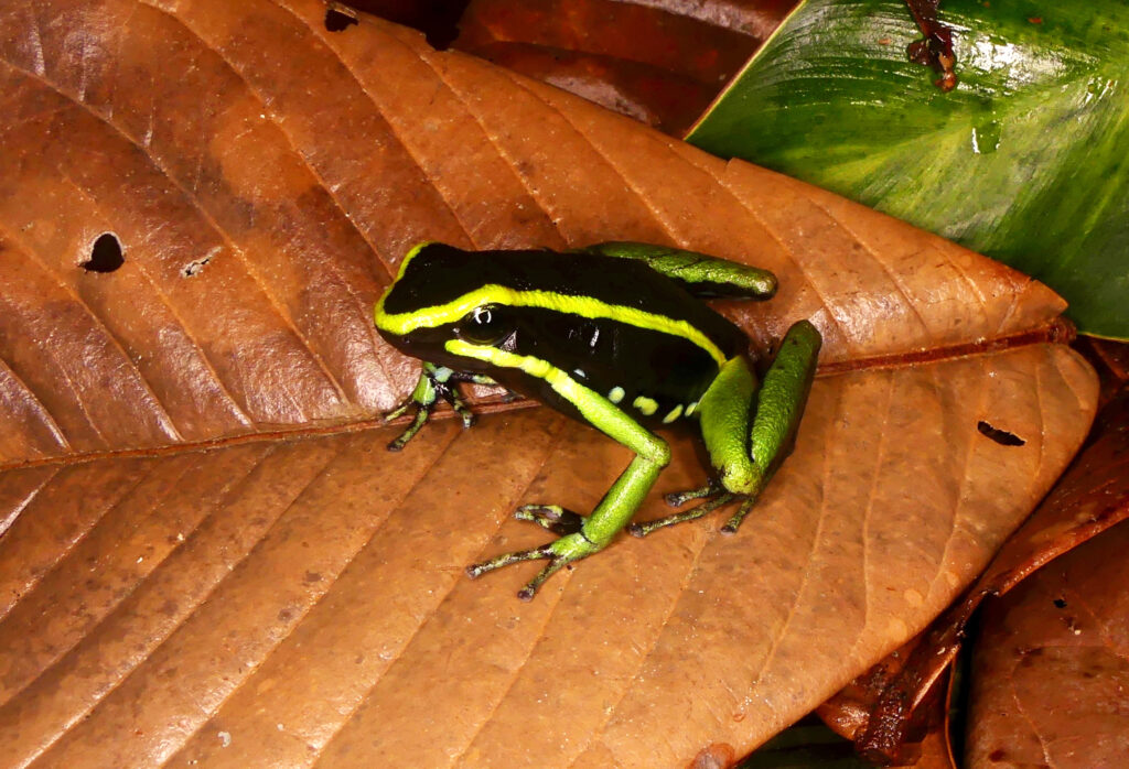 An Ameerega trivittata frog from the lowland Peruvian Amazon, one of the species found to be infected with chytrid fungus in a new University of Michigan-led study. Image credit: Dan Rabosky.