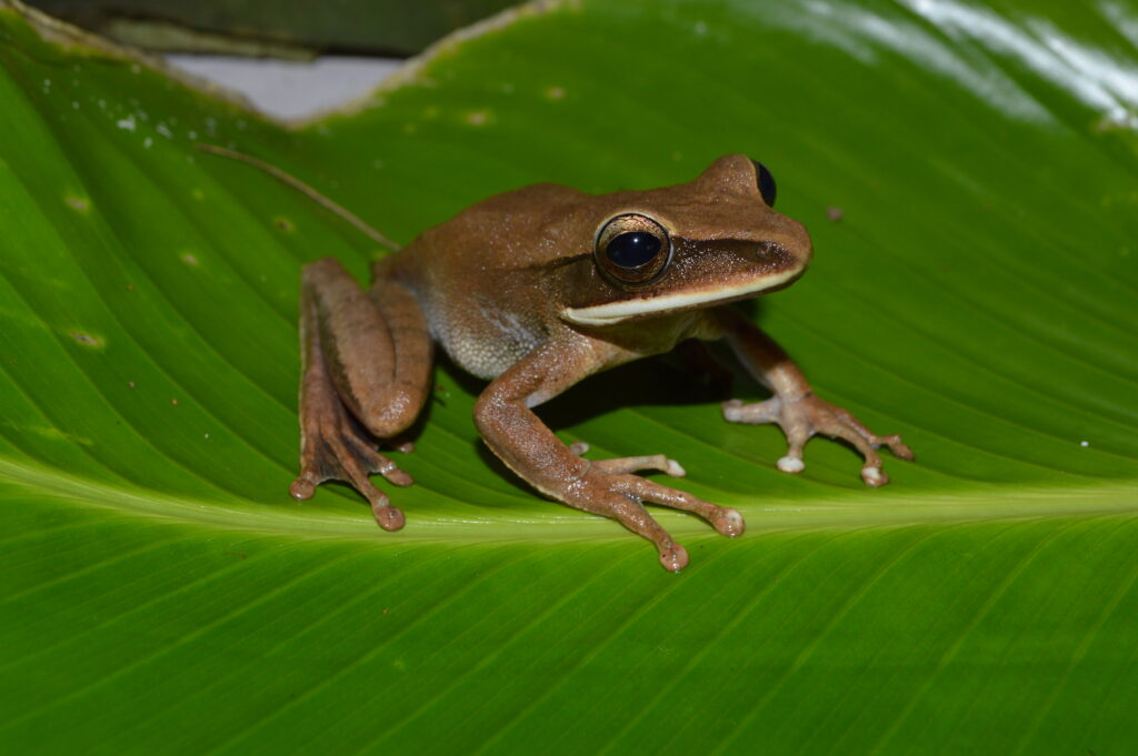 A Hypsiboas lanciformis frog from the lowland Peruvian Amazon, one of the species found to be infected with chytrid fungus in a new University of Michigan-led study. Image credit: Consuelo Alarcón Rodriguez.