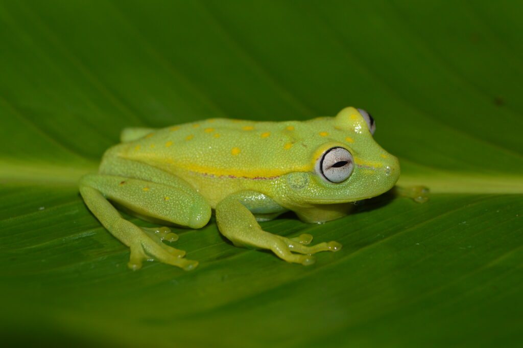 A Hypsiboas punctatus frog from the lowland Peruvian Amazon, one of the species found to be infected with chytrid fungus in a new University of Michigan-led study. Image credit: Consuelo Alarcón Rodriguez.
