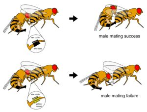 "Normal ""wild type"" male fruit flies, top, use specialized leg structures called sex combs to grab females for mounting and copulation. Yellow mutants, bottom, fail to grab females during mating because they lack pigments in their sex combs that provide structure. Image credit: Jonathan Massey"