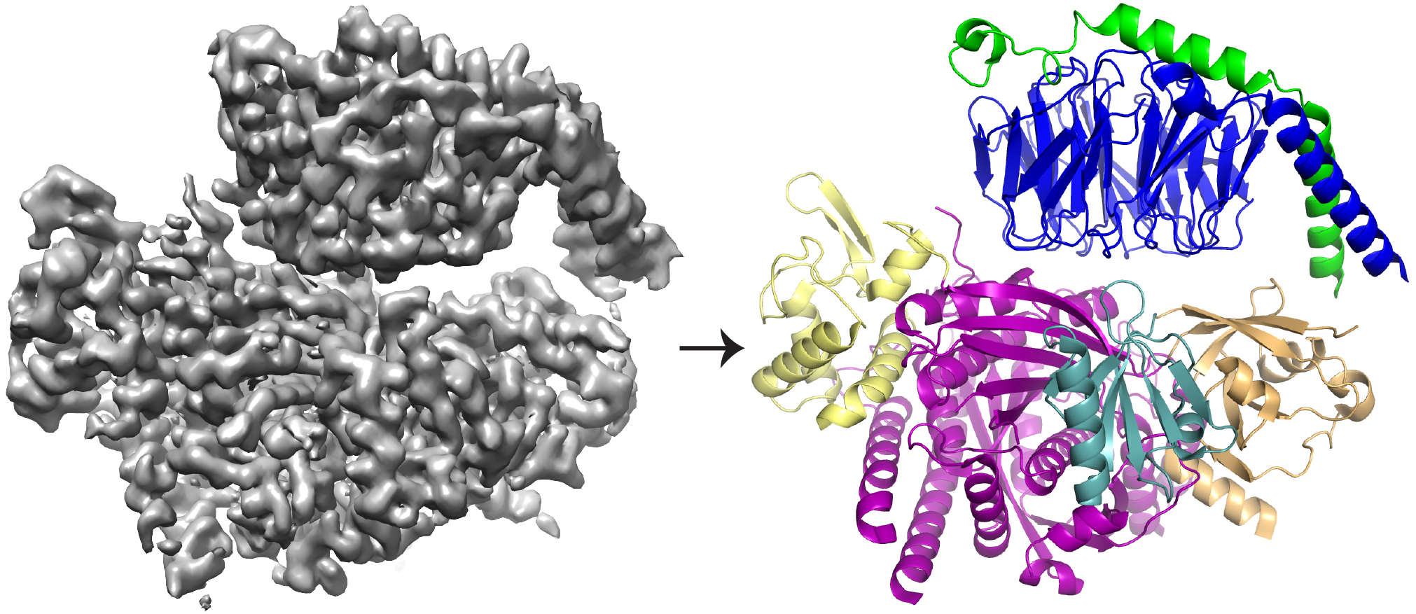 The cryo-EM 3D reconstruction (left) of the protein P-Rex1 bound to Gβγ, and the protein model (right) showing that Gβγ (top; blue and green) binds to a compact, multi-domain surface on P-Rex1 (bottom; yellow, magenta, teal and gold). Image credit: Jennifer Cash, Life Sciences Institute