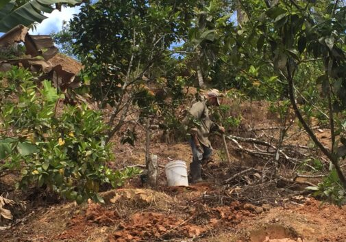 In July 2018, coffee farmer Julio Rivera Maldonado clears debris and weeds on his coffee farm in Utuado, Puerto Rico, less than a year after Hurricane Maria. Large shade trees toppled onto the coffee plants. Weeds choked those that survived. Photo Credit: Nardy Baeza Bickel/University of Michigan News
