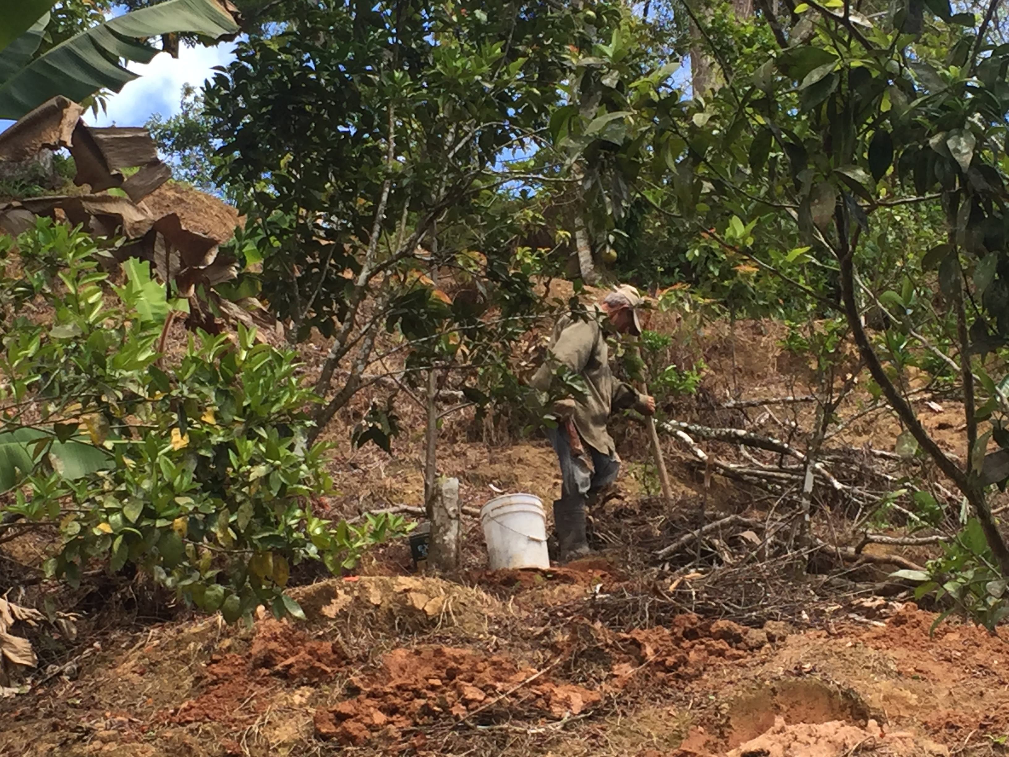 In July 2018, coffee farmer Julio Rivera Maldonado clears debris and weeds on his coffee farm in Utuado, Puerto Rico, less than a year after Hurricane Maria. Large shade trees toppled onto the coffee plants. Weeds choked those that survived. Image credit: Nardy Baeza Bickel, Michigan News
