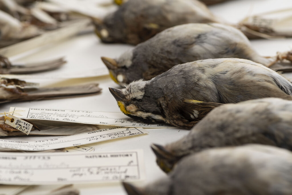 White-throated sparrows that were part of a large University of Michigan-led study that analyzed the body size and shape of more than 70,000 migratory birds that died after colliding with Chicago buildings between 1978 and 2016. Image credit: Roger Hart/University of Michigan Photography.