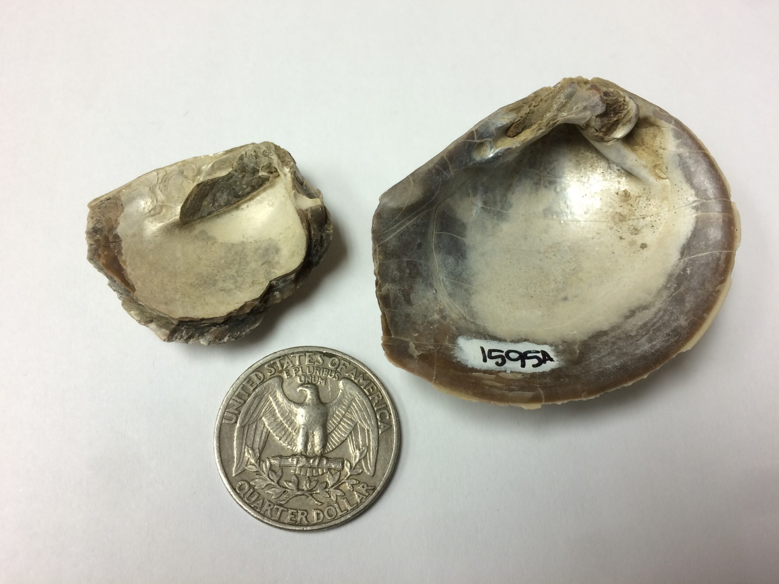 Two iridescent fossil shells, one slightly larger, one slightly smaller than a quarter