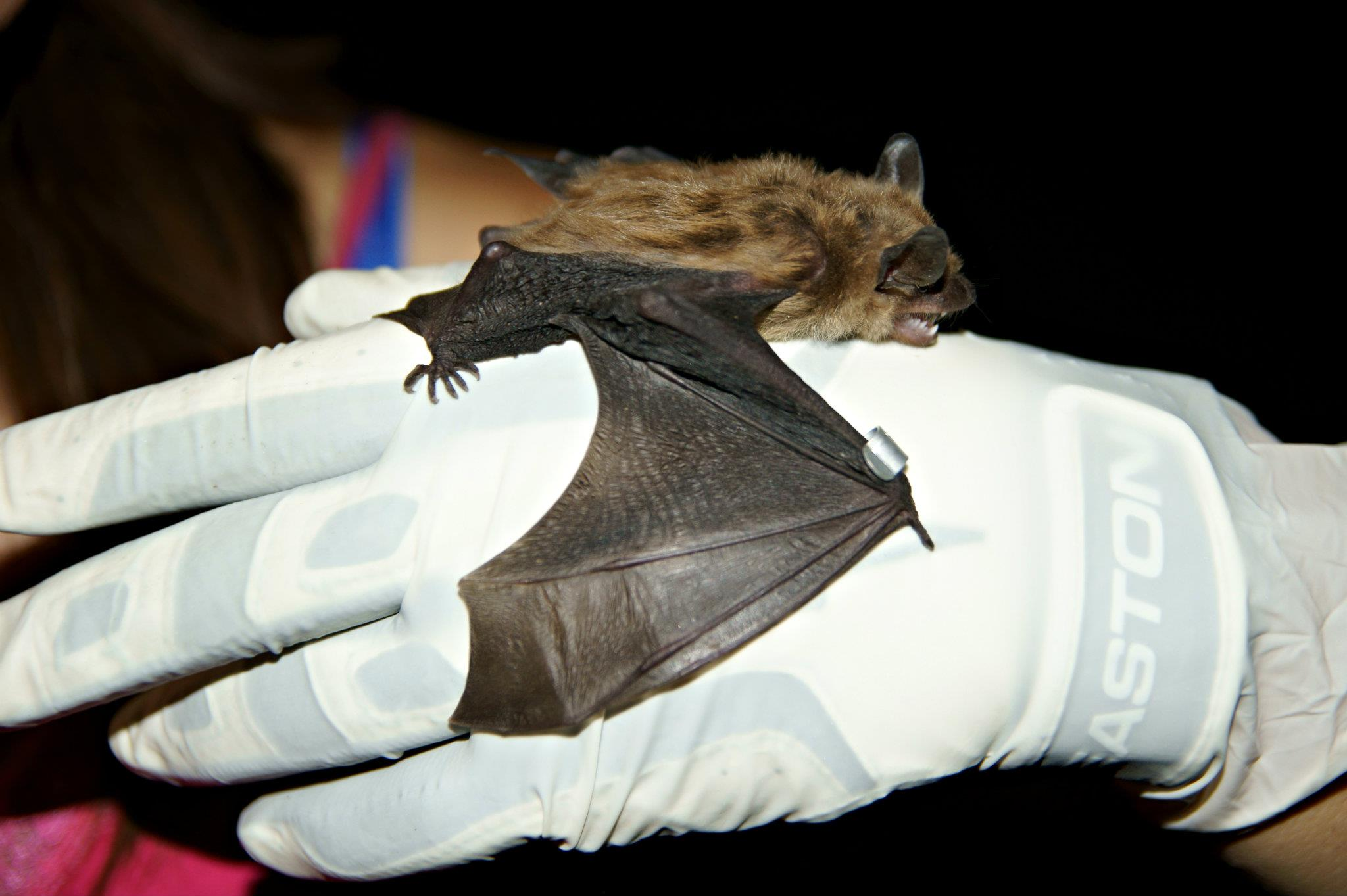 A healthy big brown bat, one of the species known to be affected by white-nose syndrome. Image credit: Amy Gondran