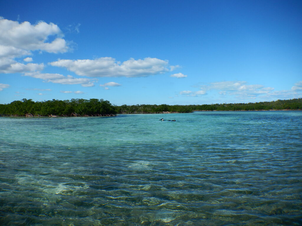 The mangrove-lined estuary on Abaco Island in the Bahamas where University of Michigan marine ecologist Jacob Allgeier and his colleagues used radio-tracked tropical fish to study the importance of highly active individuals in maintaining ecosystem health. Image credit Craig Layman