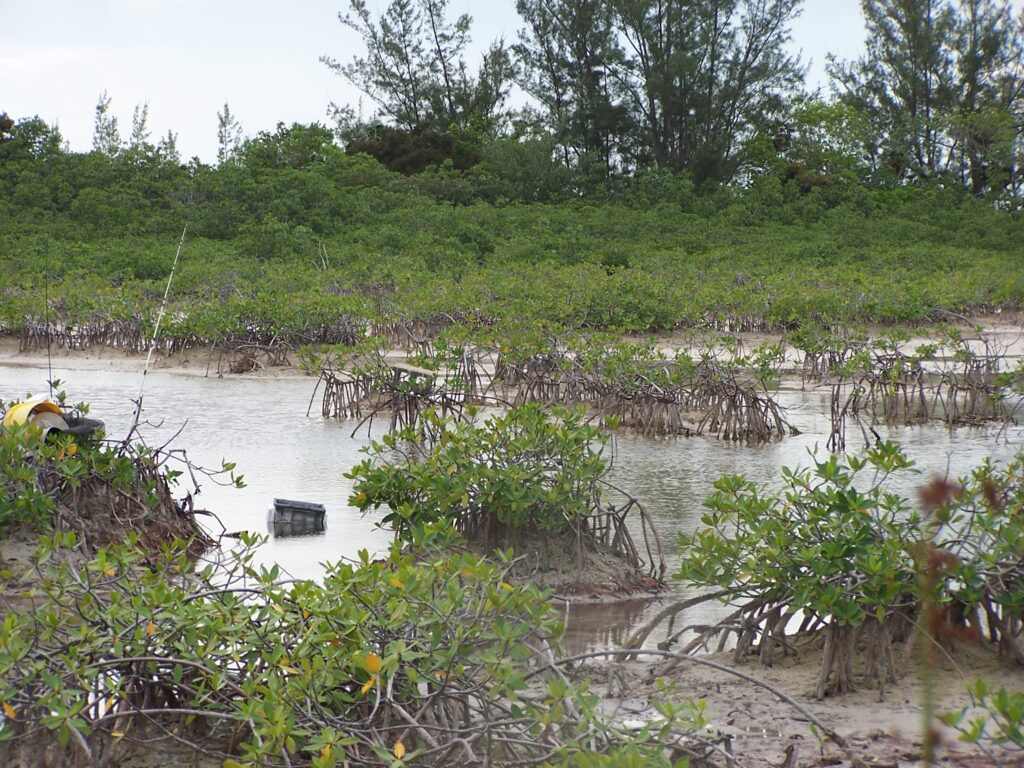 The same mangrove-lined estuary at low tide. The U-M-led study found that the individual gray and cubera snappers that spent the most time swimming and foraging for food also spread the highest levels of the essential nutrient nitrogen throughout the estuary in their urine. Image credit: Jacob Allgeier.