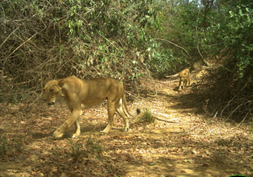 Two West African lions in Park W-Niger, part of the WAP Complex, photographed during a University of Michigan-led wildlife camera survey. West African lions are smaller than, and genetically distinct from, other African lions. Image credit: University of Michigan Applied Wildlife Ecology Lab