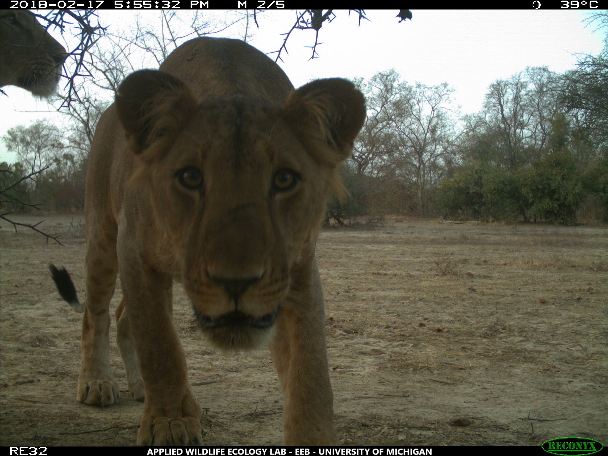 A young male West African lion photographed in a WAP Complex hunting concession during the University of Michigan wildlife camera survey. The study -- West Africa's largest wildlife camera survey -- found that lions showed no clear preference between WAP Complex national parks and hunting concessions. Image credit: University of Michigan Applied Wildlife Ecology Lab
