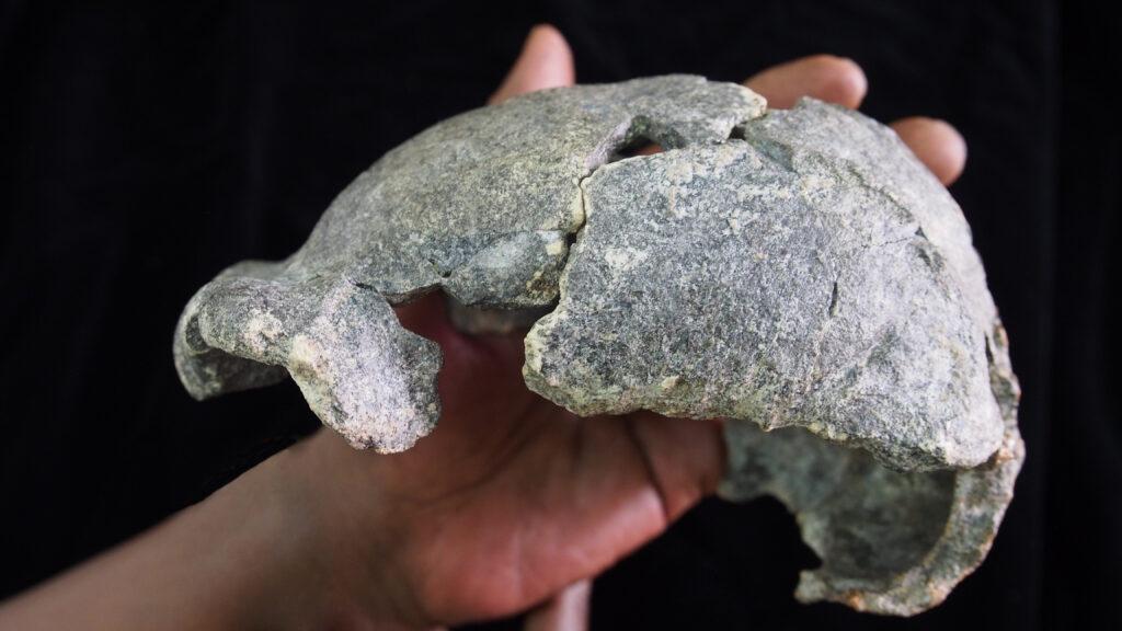 The DAN5 cranium. Image cedit: Dr. Michael J. Rogers, Southern Connecticut State University